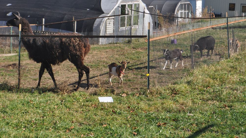 Llama and baby goats can welcome guests from a safe distance.