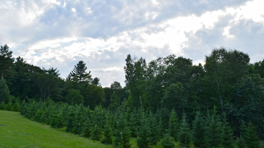Rows of pine trees adorn the property creating a rich green backdrop.